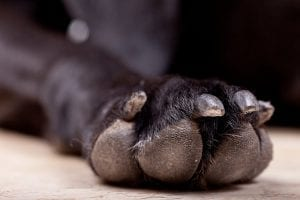 Healthy Dog Paws Dr. Stacey Bone
